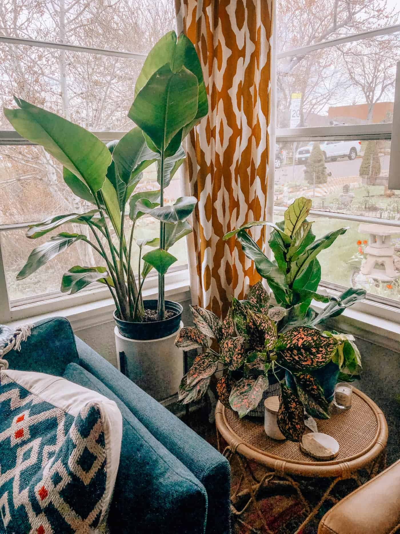 Indoor Plant Knook - Blue Mountain Belle